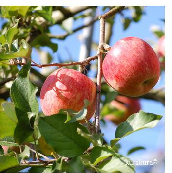 太陽光をたっぷり浴びるサンふじりリンゴ