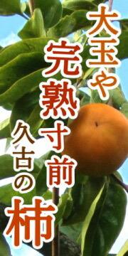 完熟寸前 久古の大玉富有柿