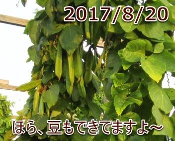 2017/8/20 ほら、豆もできてますよ〜