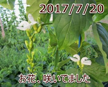 2017/7/20 お花、咲いてました