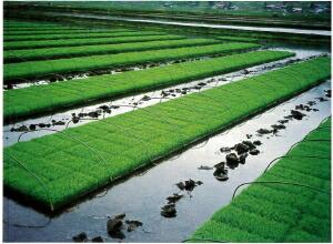 水田での育苗事例