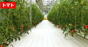 トマト使用例