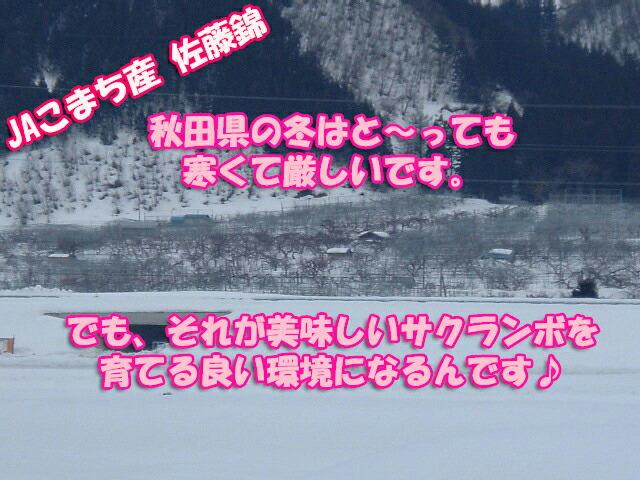 秋田の冬の寒さは厳しいんです!でも、それが美味しいさくらんぼを育てる良い環境なのです♪