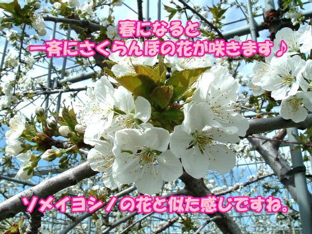 春になると、ソメイヨシノに似たさくらんぼの花が一斉に咲きます♪