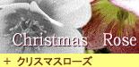 クリスマスローズ コレクション