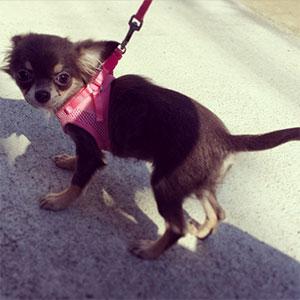 犬用ハーネスのメリット