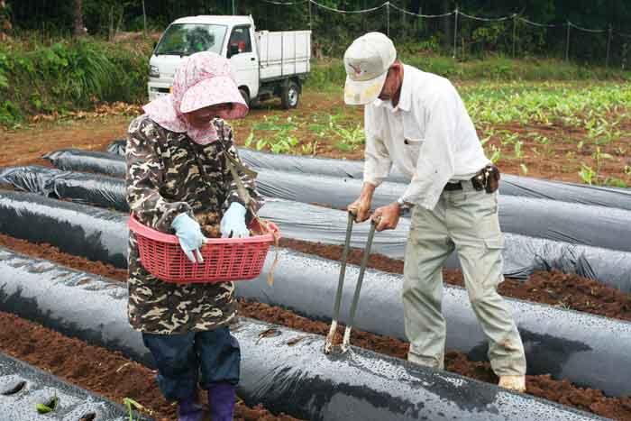 種子島ウコン種芋の植え付け
