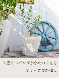 オリーブの鉢植え特集