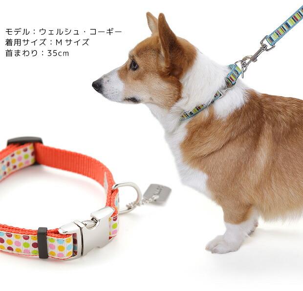 【ラロック メタルビードッグカラー Mサイズを着用したウェルシュ・コーギーの写真です!