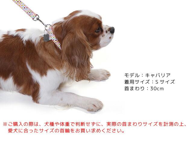 【ラロック メタルビードッグカラー Sサイズを着用したキャバリアの写真です!