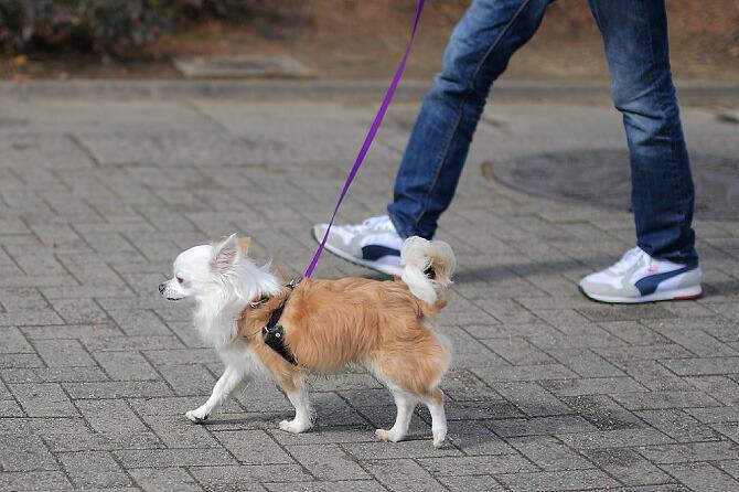 ハッピーヒールハーネスを使用した、店長犬チロのトレーニング写真