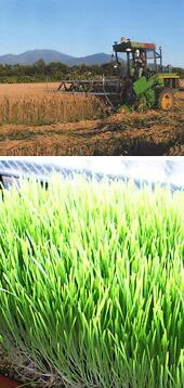 小麦のスプラウト