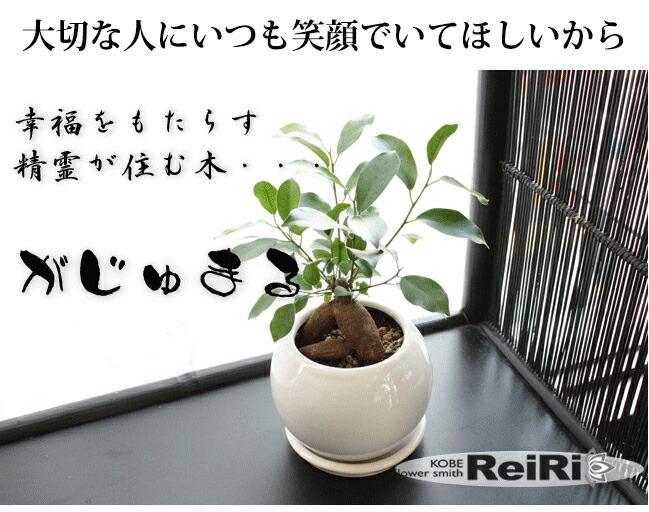 ガジュマル鉢植え