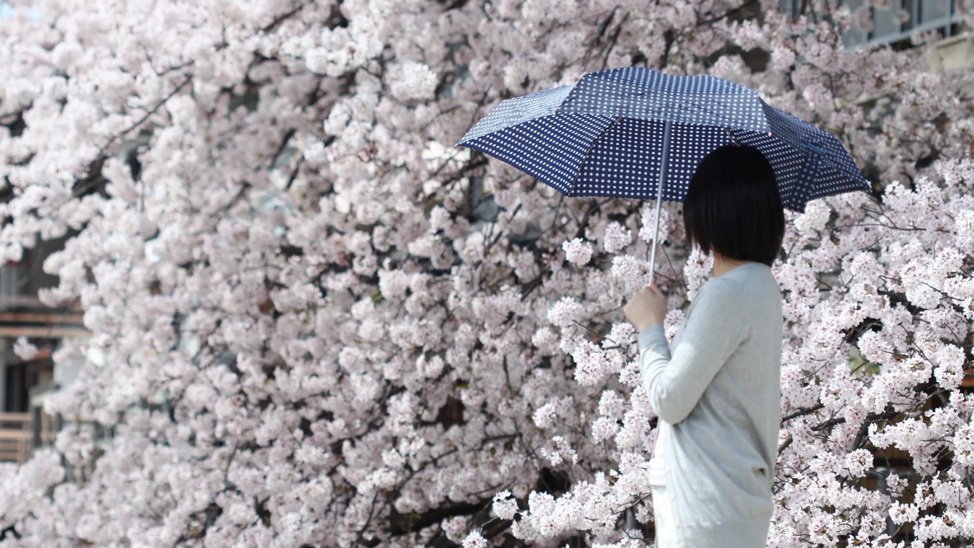 knirps 折り畳み傘と京都の桜