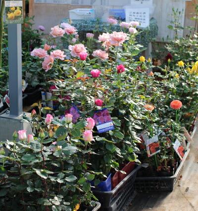 育てて楽しいバラの新苗