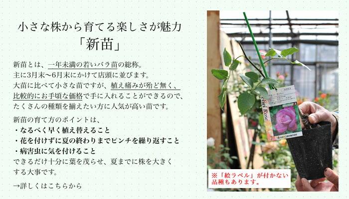 バラの新苗とは お手軽で育てる楽しみがあるバラ新苗の魅力