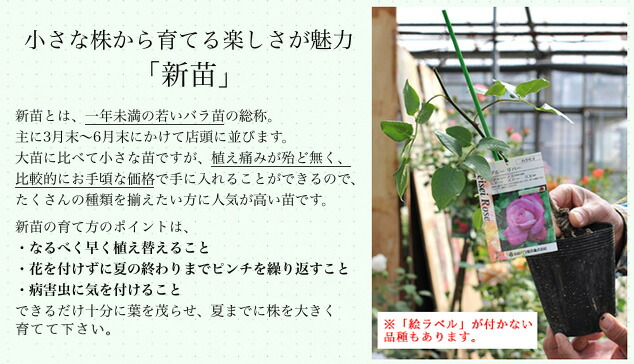 バラ 鉢植え 大苗