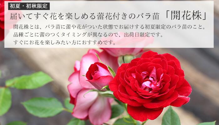 バラ 鉢植え 大苗 開花株 花付きバラ苗 花付きバラ