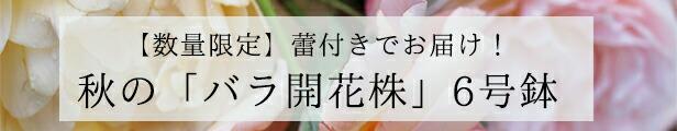 バラ 開花株