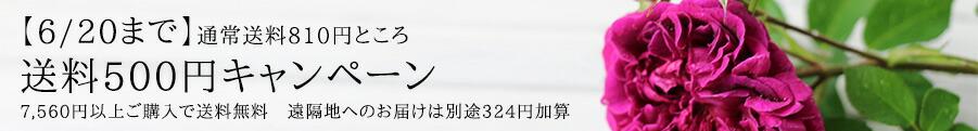 バラ 送料500円キャンペーン バラ苗 通販 販売