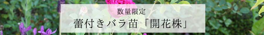 バラ苗 予約開花株