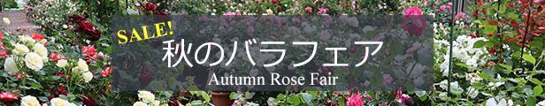 秋のバラ苗セール