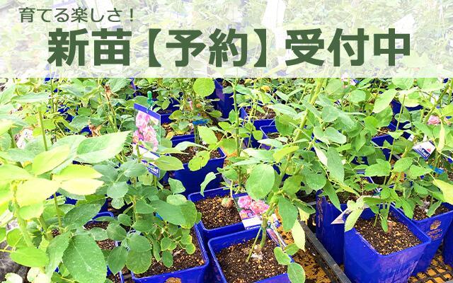 バラ新苗予約トップページ