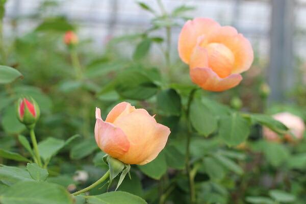 レディエマハミルトンの咲いた様子 デビッドオースチンのバラ