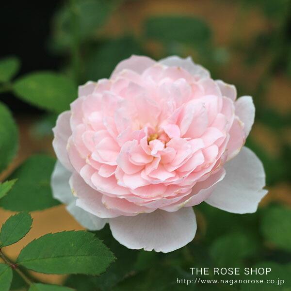 デビッドオースチンのバラ、ウィズレ—2008のバラの苗