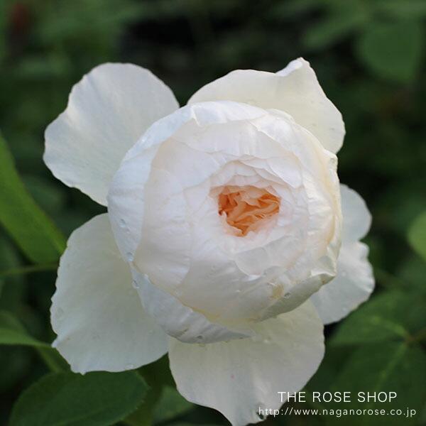 デビッドオースチンのバラ ウィンダーメア
