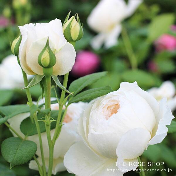デビッドオースチンのバラ ウィンダミア