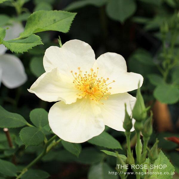 デビッドオースチンのバラ キューガーデン