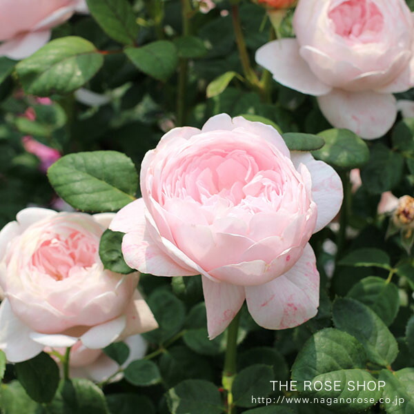 デビッドオースチンのバラ クィーンオブスウェーデン