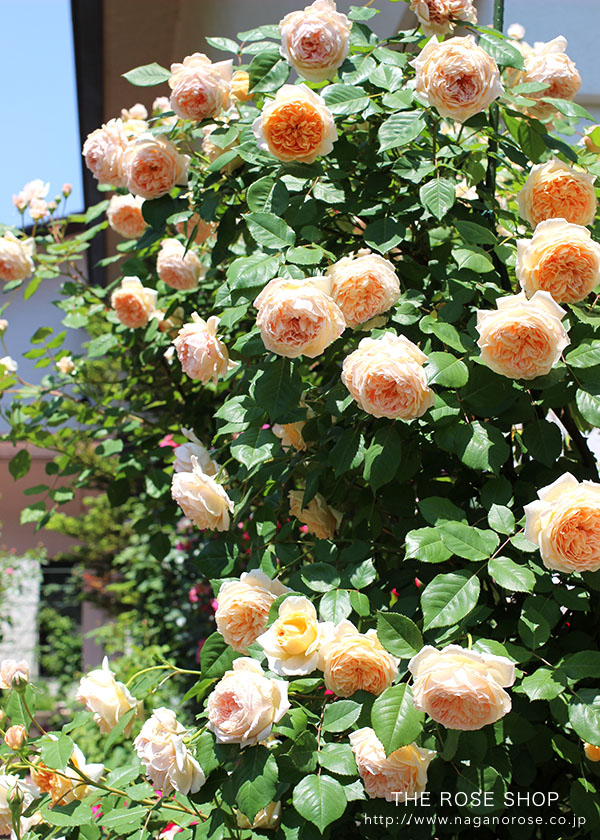 イングリッシュローズのバラの苗、クラウンプリンセスマルガリータ