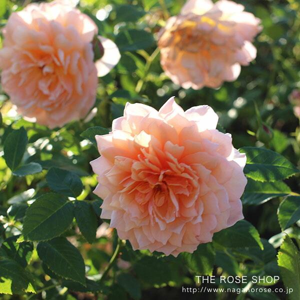 デビッドオースチンのバラ グレイス