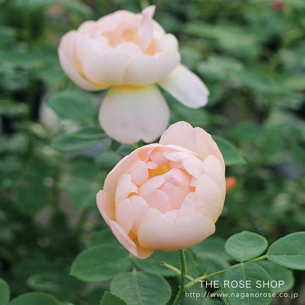 デビッドオースチンのバラ ザ ラーク アセンディング