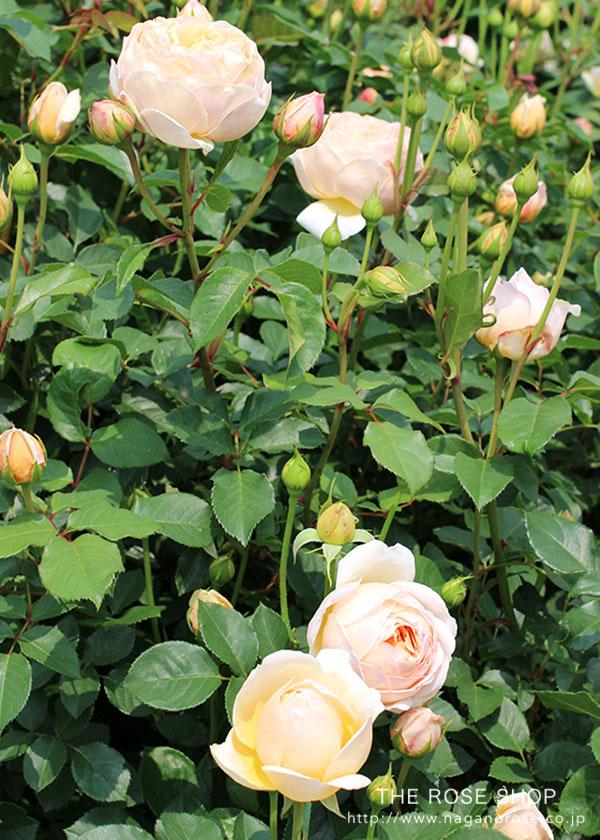デヴィッドオースチンのバラ じゅーどじおぶすきゅあ