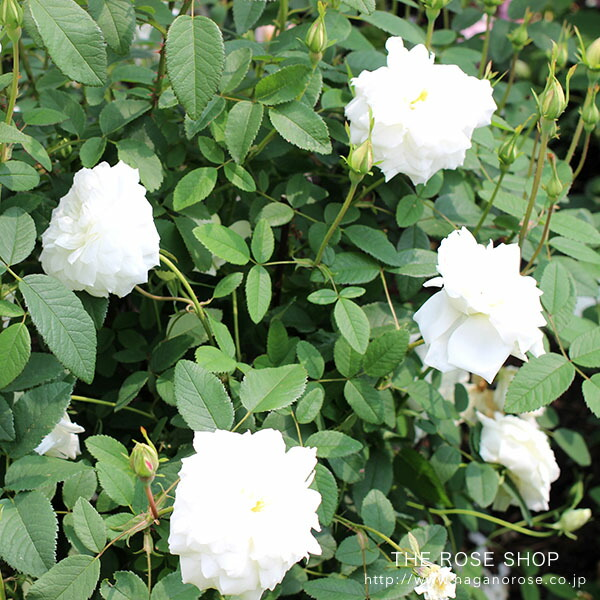 デビッドオースチンのバラ「スーザンウィリアムズエリス」