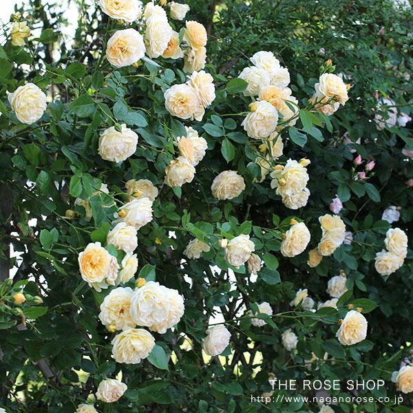 デビッドオースチンのバラ ティージングジョージア