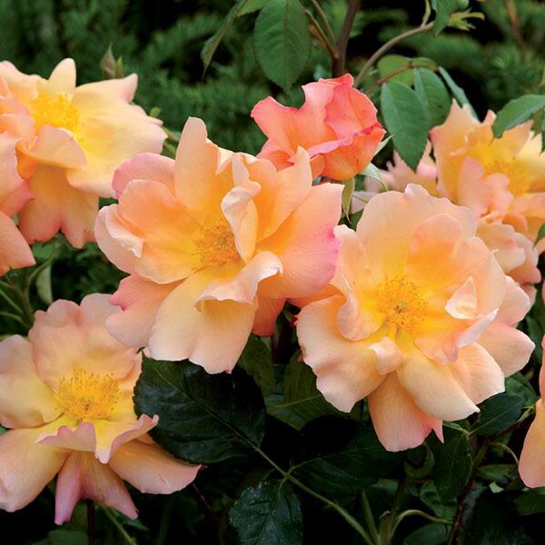 デビッドオースチンのバラ ファイティングテメレア