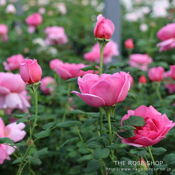 イングリッシュローズのバラの苗 おすすめのバラ ケント
