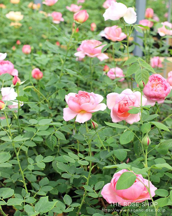 イングリッシュローズのバラの苗 ボスコベルの鉢苗