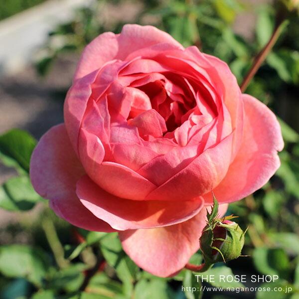 イングリッシュローズのバラの苗 ボスコベル