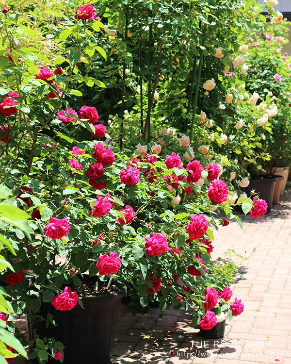 デビッドオースチンのバラ ムンステッドウッド