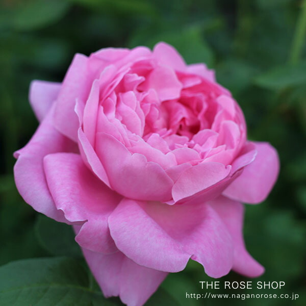 デビッドオースチンのバラ メアリーローズ
