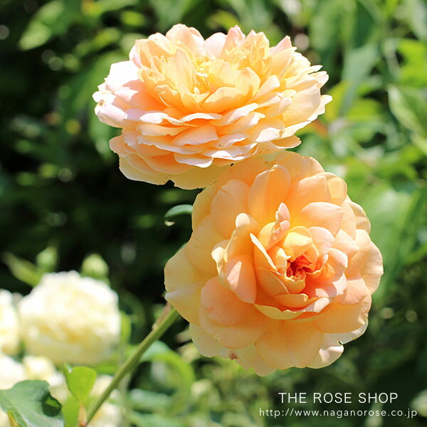 デビッドオースチンのバラ モリニュー
