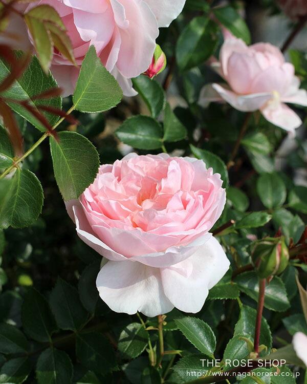 デビッドオースチンのバラ ワイルドイブ