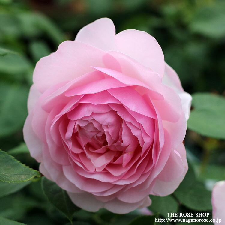 オリビアローズオースチン イングリッシュローズのバラの苗