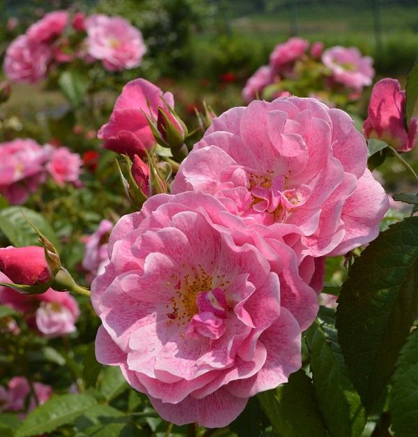 誘引しやすいつるバラ、キャメロットのバラの苗