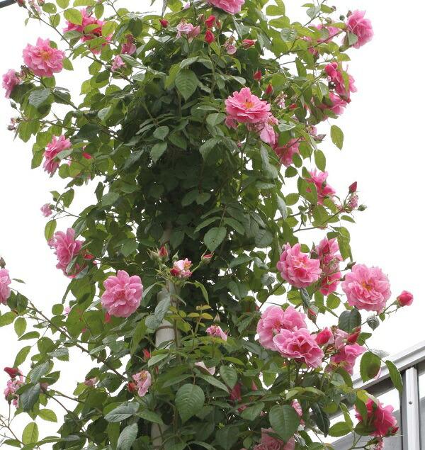 育てやすく誘引しやすいつるバラ、キャメロットのバラの苗